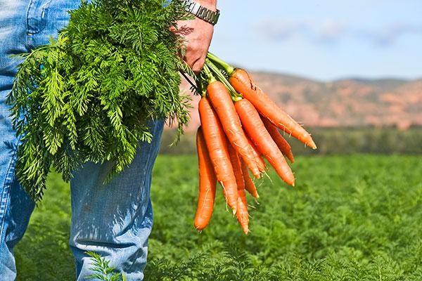 ramillete de zanahorias ecologicas de nuestra huerta