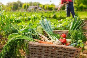 Cultivando nuestra verdura ecologica zaragoza y seleccionando el mejor producto